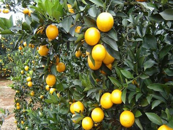 红心猕猴桃高产关键在施肥